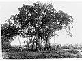 Banyan Tree - Botanical Gardens, Port Darwin - Northern Territory(GN03759).jpg