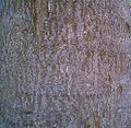 Bark of Ailanthus exelsa.jpg