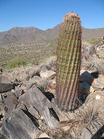 Ferocactus species, a cactoid, in its native Arizona habitat Barrel cactus with a view.JPG
