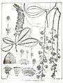 Barringtonia acutangula Govindoo.jpg