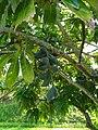 Barringtonia calyptrata fruit 1.jpg