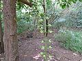 Barringtonia racemosa stems after loosing flowers (5731420990).jpg