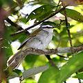 Basileuterus leucophrys-White-striped Warbler.JPG