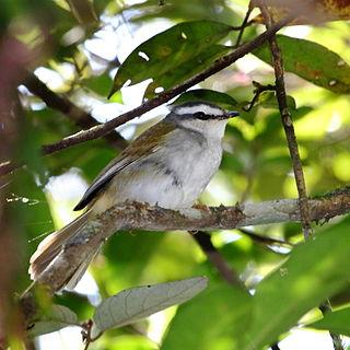 White-striped warbler species of bird