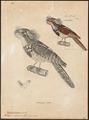 Batrachostomus javanensis - 1700-1880 - Print - Iconographia Zoologica - Special Collections University of Amsterdam - UBA01 IZ16700011.tif