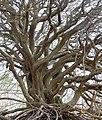 Baum am Hochuferweg Hiddensee Dornbusch, Foto 2.jpg