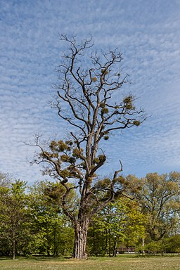 Baum mit Misteln im Schlosspark Biebrich