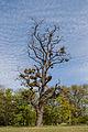 Baum mit Misteln im Schlosspark Biebrich.jpg