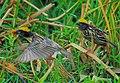 Baya Weaver Birds.jpg