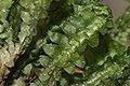 Bazzania trilobata (c, 144748-474742) 4330.jpg