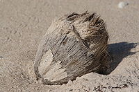 Beached coconut.JPG