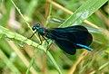 Beautiful Demoiselle male. Calopteryx virgo ssp meridionalis (30569541284).jpg