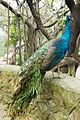 Beautiful peacock (25452117293).jpg