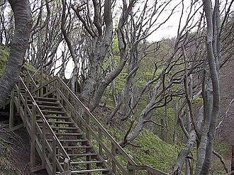 Møns Klint - Beech trees along staircase