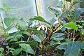 Begonia loranthoides subsp. loranthoides-Jardin botanique de Berlin (7).jpg