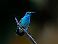 Beija-flor-de-orelha-violeta (Colibri serrirostris) (18209926481).jpg