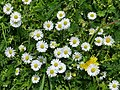 Bellis perennis in Lippstadt P1010575 (8708767541).jpg