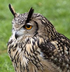 An Eagle Owl Bubo bubo