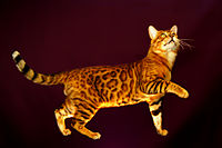 Bengal cat catcrest3.jpg