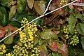 Berberis aquifolium 4204.JPG