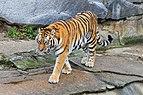 Berlin Tierpark Friedrichsfelde 12-2015 img24 Siberian tiger.jpg