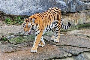 Tierpark Berlin - Siberian tiger in Tierpark Berlin.
