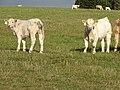 Bernartice, skot na pastvině pod rozhlednou Březinka, 6.jpg