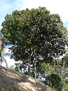 Bertholletia excelsa wikipedia la enciclopedia libre Semilla de brasil es toxica