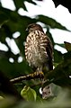Besra Sparrowhawk, Wattegama, Sri Lanka.jpg