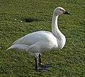 Bewick's Swan (38432301720).jpg