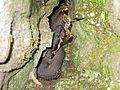 Big Cottonmouth, Agkistrodon piscivorus - Flickr - GregTheBusker.jpg