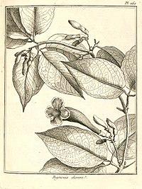 Bignonia kereré Aublet 1775 pl 260.jpg
