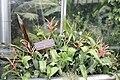 Billbergia leptopoda.jpg