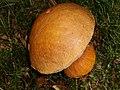 Birch bolete (Leccinum scabrum) - geograph.org.uk - 242472.jpg