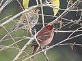 Bird Common Rosefinch DSCN7706 03.jpg