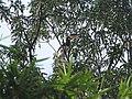 Bird Malabar Pied Hornbill Anthracoceros coronatus IMG 2108 01.jpg