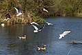 Birds on Hooks Marsh Lake at Fishers Green, Lee Valley, Waltham Abbey, Essex, England 04.jpg