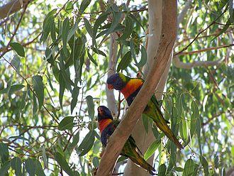 Floreat, Western Australia - Rainbow lorikeets at Perry Lakes