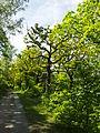 Birken-Eichenwald Blankenburg 2.jpg