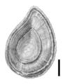 Bithynia bavelensis operculum.png