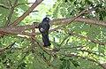 Black-Headed Trogon (Trogon melanocephalus) (5772386838).jpg