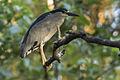 Black-crowned Night-Heron - Zamora Estate - Costa Rica MG 5623 (26090734894).jpg