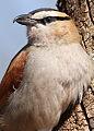 Black-crowned Tchagra, Tchagra senegala at Rietvlei Nature Reserve, Gauteng, South Africa (15084682692).jpg