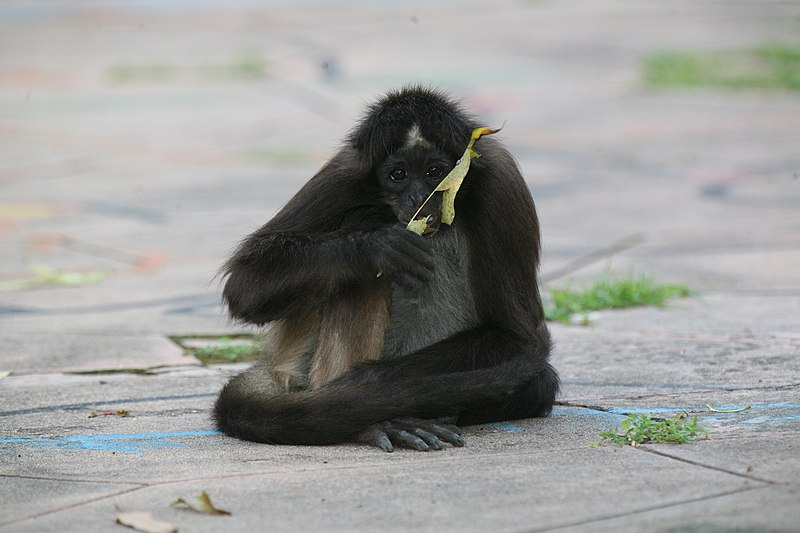 File:Black-headed Spider Monkey.jpg