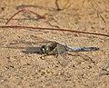 Black-tailed-Skimmer.jpg