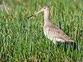 Black-tailed Godwit (19833935438).jpg