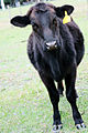 Black Angus Heifer.jpg