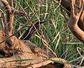 Black Bittern (Dupetor flavicollis) in Kinnarsani WS, AP W IMG 6108.jpg