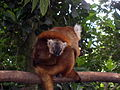 Black Lemurs (1).jpg