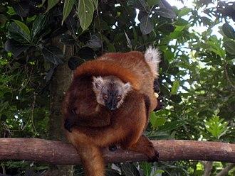 Black lemur - A female black lemur with one young at the Nosy Komba Lemur Tours